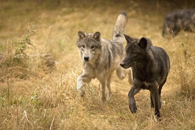 De wolf en de jakhals komen eraan