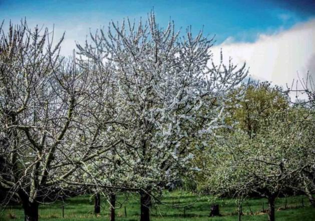 Stormloop op gratis fruitbomen Weert