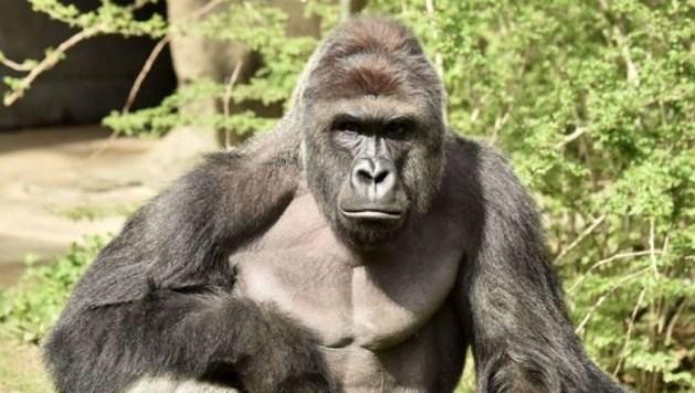 Peuter bij gorilla: ouders niet vervolgd