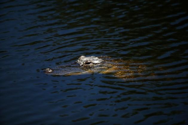 Alligator zwemt met lijk in zijn bek