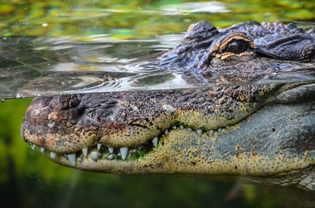 Krokodil grijpt peuter in Orlando