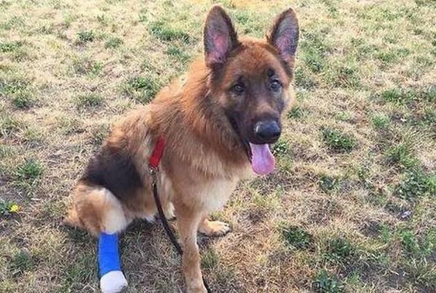 Nieuw thuis voor gruwelijk mishandelde herdershond