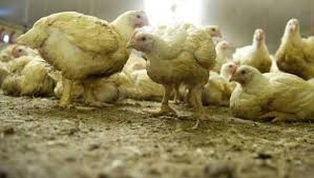 Financiële strop dreigt voor Limburgse kippenboeren