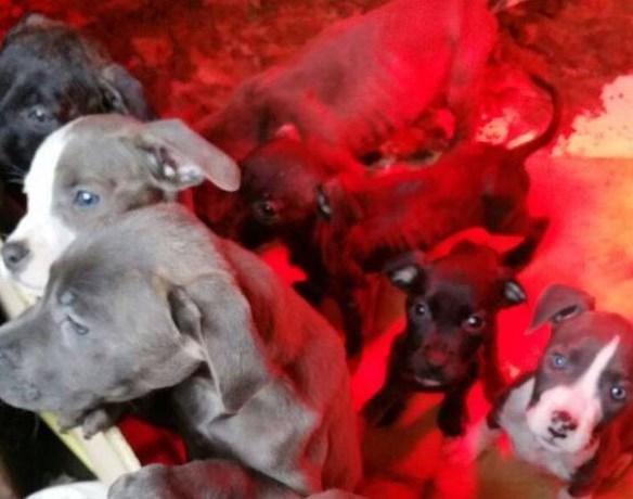 Politie vindt 18 zwaar verwaarloosde pups