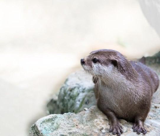 Onderzoek naar otter in Limburg