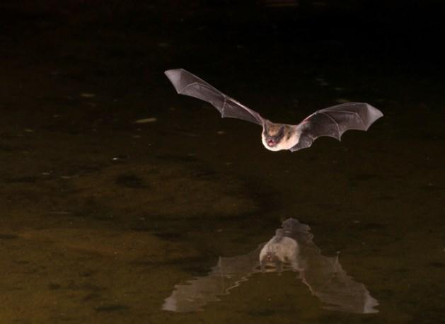 Wetenschappers verbaasd: vleermuis lust mensenbloed