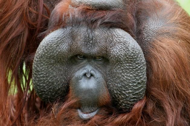 Tinder voor orang-oetans