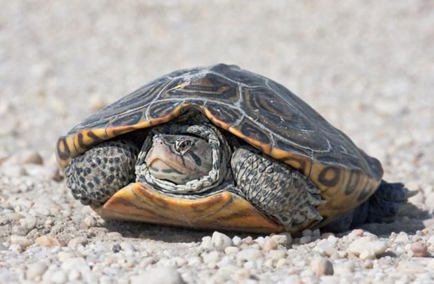 Schildpad 'teistert' verkeer op A20
