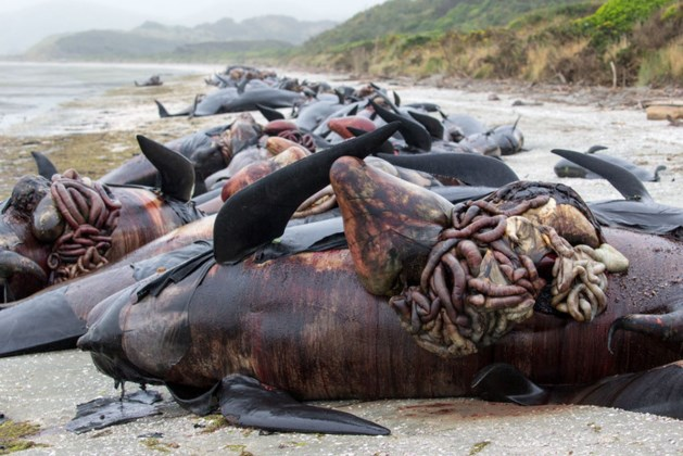 300 dode walvissen staan op ontploffen in Nieuw-Zeeland