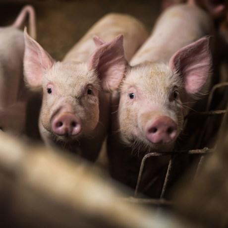 Longcentrum vreest uitstoot van varkensboerderij