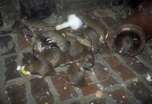 Roermondse straat zucht onder rattenplaag