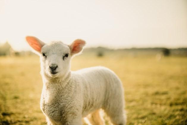 Honden bijten lammetjes en schapen dood