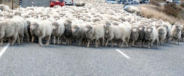 Verkeer opgelet! Loslopende schapen op A2
