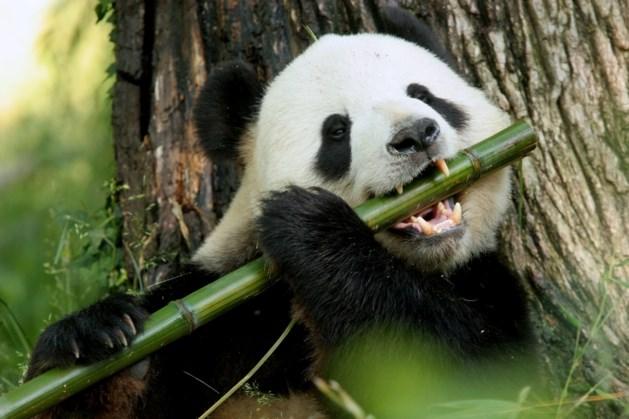 Kieskeurige reuzenpanda's krijgen in toekomst bamboe uit Venlo