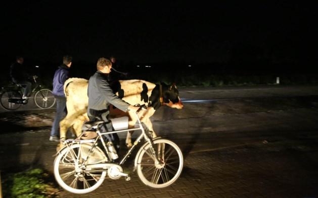 Bestuurder kan aanrijding met ontsnapte koe ternauwernood voorkomen