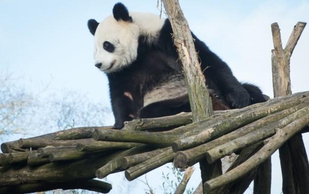 Reuzenpanda's zijn eindelijk te bewonderen