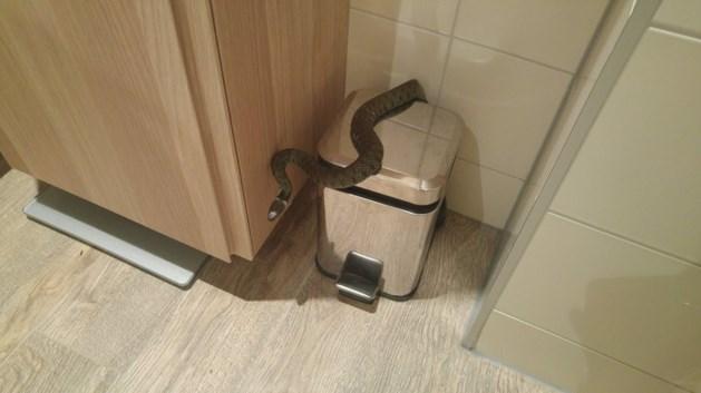 Slang duikt plotseling op in toilet