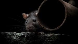 Rattenplaag: oude douanepanden Venlo snel plat