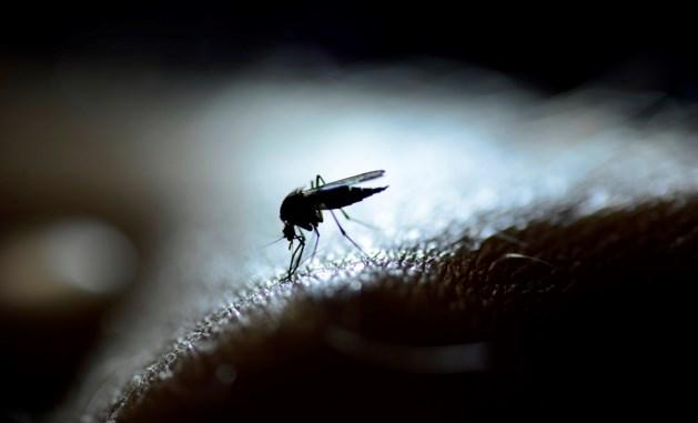 Na het weekend komen de muggen naar Limburg