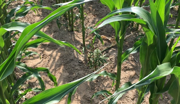 Opnieuw hennep gevonden tussen maïs