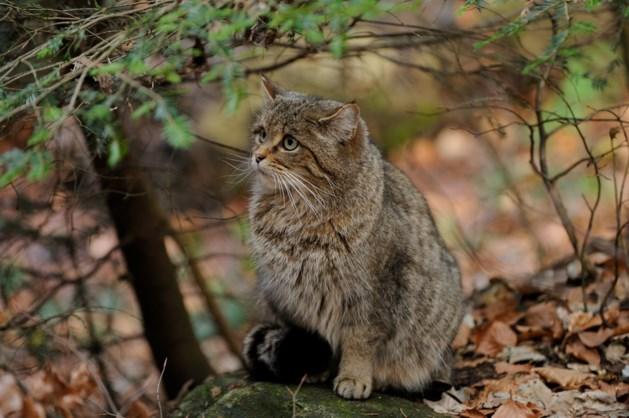 De wilde kat doet het goed in het Heuvelland