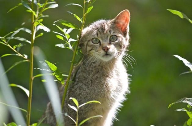 Wilde kat toont vrolijke vijfling in Vijlenerbos