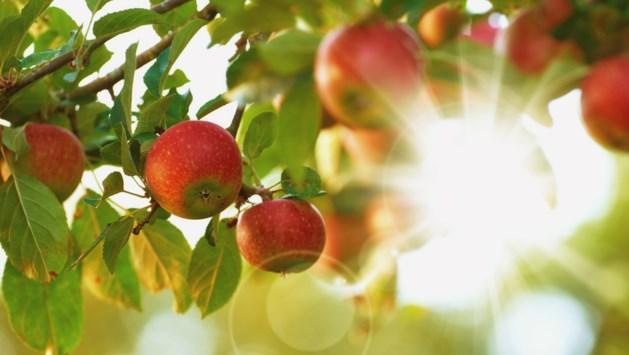 Koud weer zit peren- en appeloogst Zuid-Limburg dwars