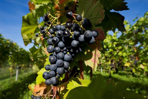 Vorstschade lijkt mee te vallen voor wijnoogst Limburg