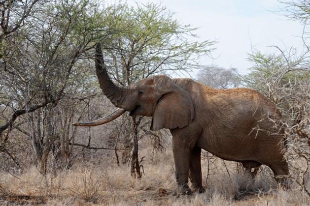 Olifant vertrapt trofeeënjager voordat hij trekker overhaalt