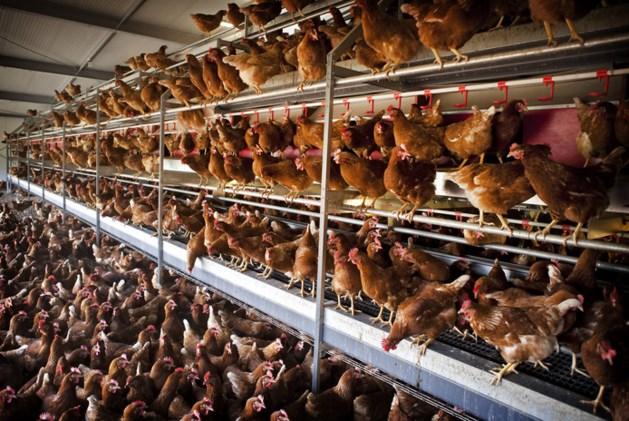 OM: kippenboeren moeten tonnen terugbetalen voor mestfraude