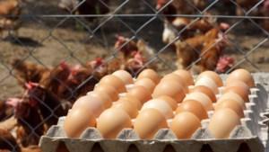 Keihard oordeel: 'Overheid faalde in eierschandaal'