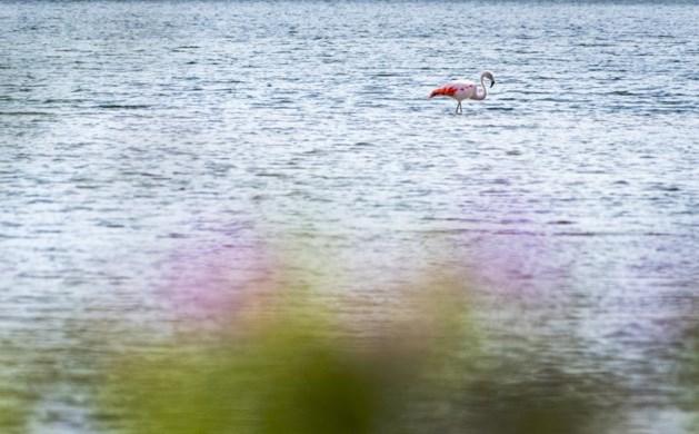 Vrijgezelle flamingo in Arcen is vreemde vogel