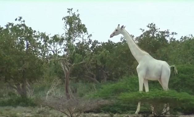 VIDEO Zeldzaam wit giraffenduo gespot in reservaat