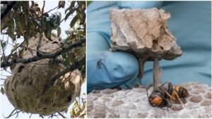 Nest Aziatische hoornaars gevonden en vernietigd in Zeeland