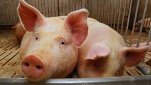 Overlast varkens aanpakken in Limburg