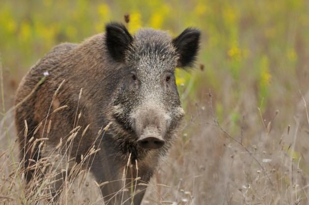 Jagers vragen meer mogelijkheden voor jacht op zwijnen
