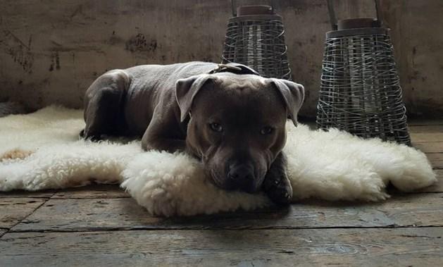 """Hond 'gestolen' in Venlo: """"Hij is mijn alles"""""""