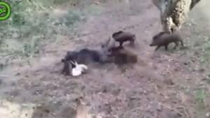 Video - Wilde zwijnen vallen hond aan in Valkenburg