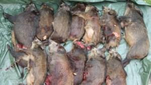 Veertien everzwijnen doodgereden op snelweg