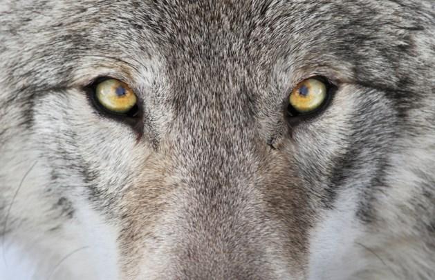 Dood dier Kloosterhaar 'vrijwel zeker wolf'