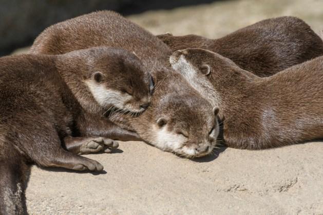 Otters hier alleen welkom als ze uit zichzelf komen