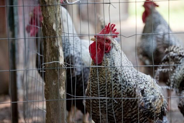 Waarschuwing voor hittestress bij varkens en kippen