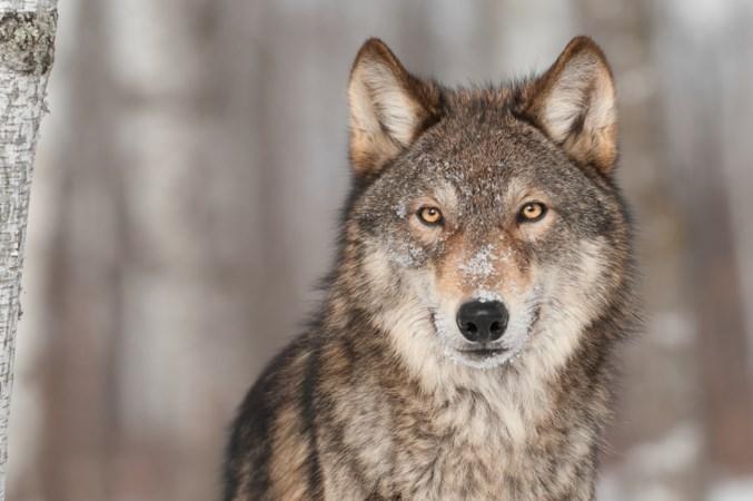 'De wolf hoort hier niet thuis, bel snel de jager'