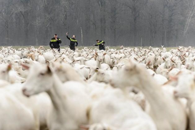 Limburg stoort zich aan willekeur over geitenhouderijen
