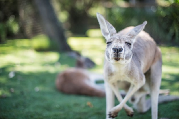 Dierenarts berispt voor achterlaten medicijn zieke kangoeroe