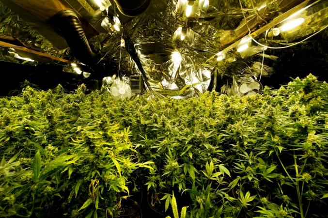 Grootschalige teelt van medicinale cannabis in 'landbouwstad' van de toekomst