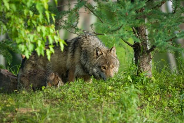 Limburgse jager ziet wolf in het donker voor auto opduiken