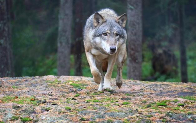 Wolf doodgereden nabij Limburgse grens