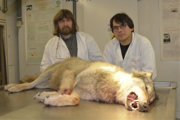 Onderzoek bevestigt: wolf bij Limburgse grens werd doodgereden
