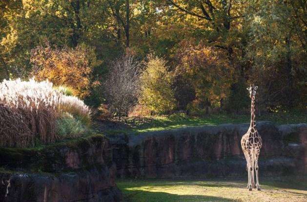 Giraffe hangt dood in boom in dierentuin Kerkrade